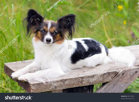 dog breeding bench papillon dog breed is on the bench stock photo 88710874