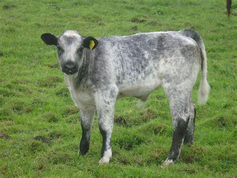 blue cattle belgian blue cattle www imgkid the image kid has it
