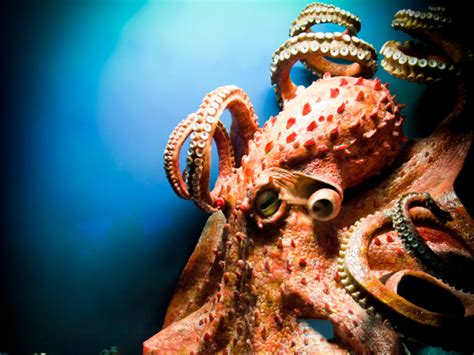 octopus steals in soul of an octopus an invertebrate steals our hearts