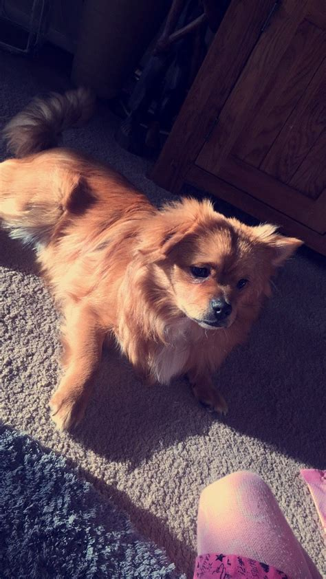 6 month pomeranian puppy 6 month pomeranian huddersfield west pets4homes
