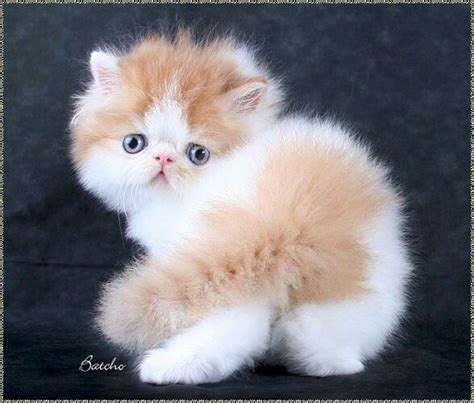 persian cats in orlando my persian kittens persian 1000 images about too cute on pinterest persian cats