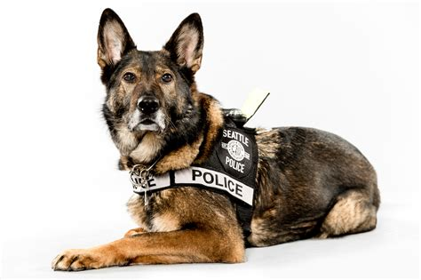 police dog jordan stead s telling portraits of seattle pd s k 9 units