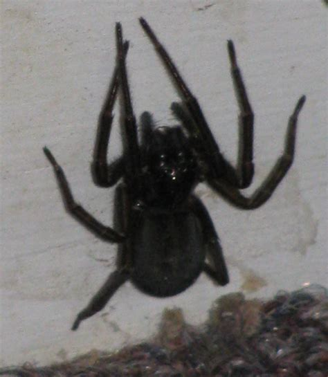big black house spider big black house spider 28 images spiders at spiderzrule the best site in the world