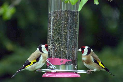goldfinch 171 andysworld
