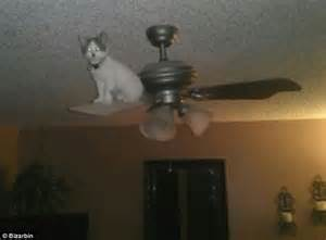 Cat On Ceiling Fan Purr Evil Cats Hilarious Images Showcase The World S Most