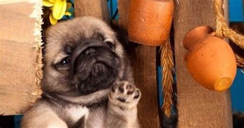 pug puppies nashville tn pugs for sale in nashville tennessee tips