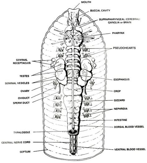earthworm diagram earthworm dissection diagram