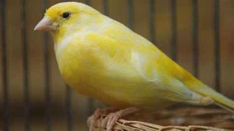 alimentazione canarino il canarino alimentazione ambiente riproduzione e cura