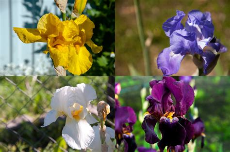 variety of flowers for garden variety of iris in our home flower garden may