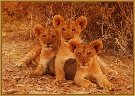 imagenes de leones en movimiento imagenes de familias de leones bebes imagenes de leones