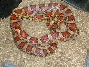 corn snake colors corn snakes color question
