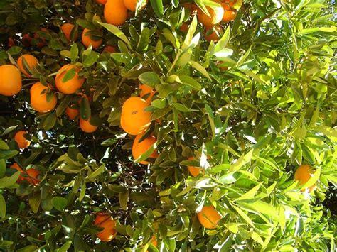 periodo potatura limone in vaso potatura agrumi periodo potatura quando potare agrumi