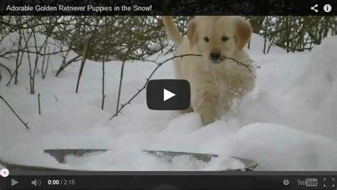 golden retriever puppies snow the cutest golden retriever puppies in the snow cuteness overflow