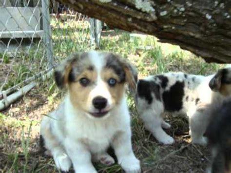 beagle corgi mix puppies for sale sheltie corgi mix puppies for sale images