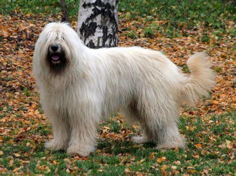 russian breeds caucasian ovcharka breed related keywords caucasian ovcharka breed