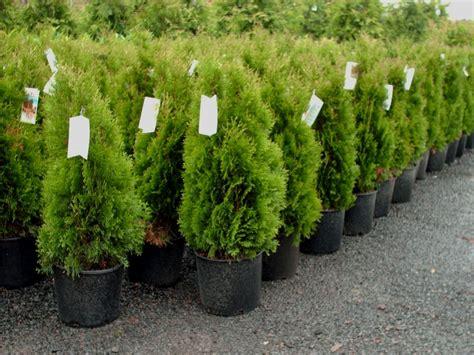 arborvitae emerald green  walmartcom walmartcom