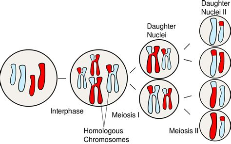 Meiosis i and meiosis ii the end result of meiosis is four