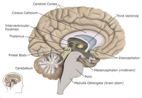 which section of the brain is concerned with reasoning pin by debbie breeden on autism pinterest