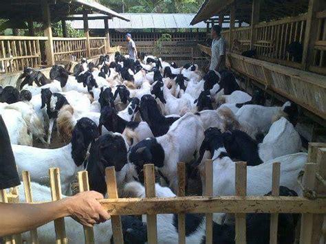 Jual Bibit Kambing Etawa Kaligesing jual kambing peranakan etawa pe kaligesing kelas