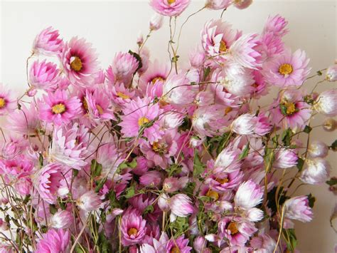 Bloom Box Pink Multicolor Preserved Flower dried bunch pink rhodanthus dried flowers daisyshop