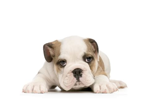 puppies background american bulldog puppy on white background wallpapers and images wallpapers