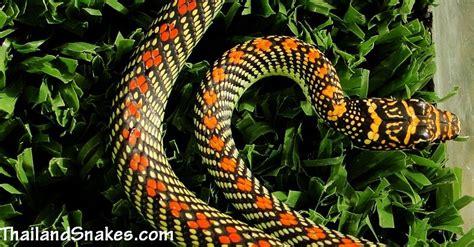 flying snake archives thailandsnakes com