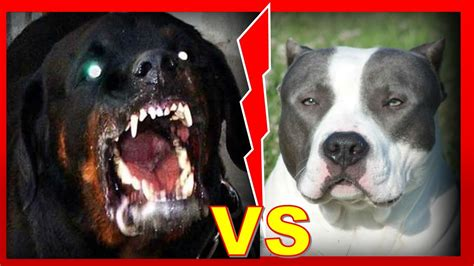 imagenes de rottweiler ingles rottweiler vs american bully 191 qui 233 n ganar 237 a en una