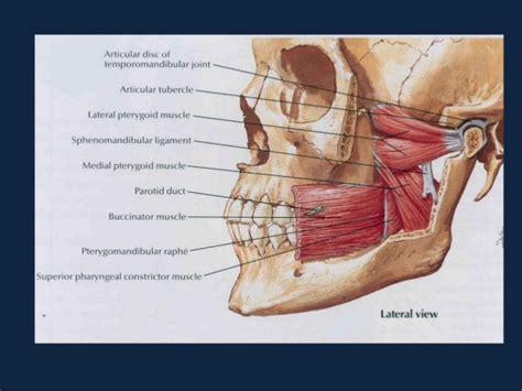 tmj diagram tmj disc anatomy diagram tmj get free image about wiring