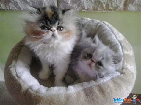 gatti persiani firenze dolcissimi cuccioli e persiani in vendita a borgo