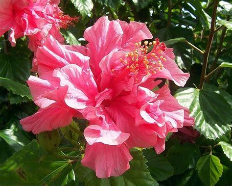 piante con fiori pianta con fiori rosa fiori di piante pianta dai fiori