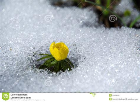 fiore neve fiore in neve fotografia stock immagine di freddo pianta
