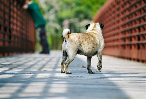 how much for a pug looks like a lovely day for a pug walk about pug