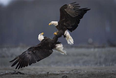 two bald eagles in a tangle audubon