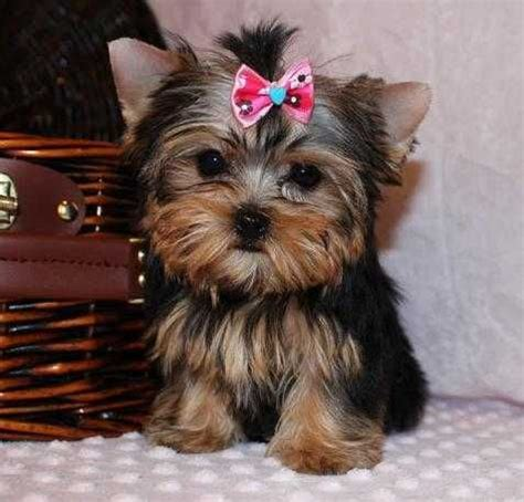 puppies for sale in new york terrier puppies for sale new york ny 200123 petzlover