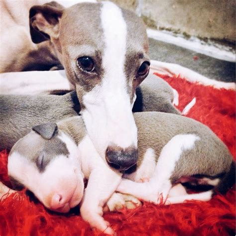 italian greyhound puppies price italian greyhound puppies learn the charms and challenges of this ancient breed