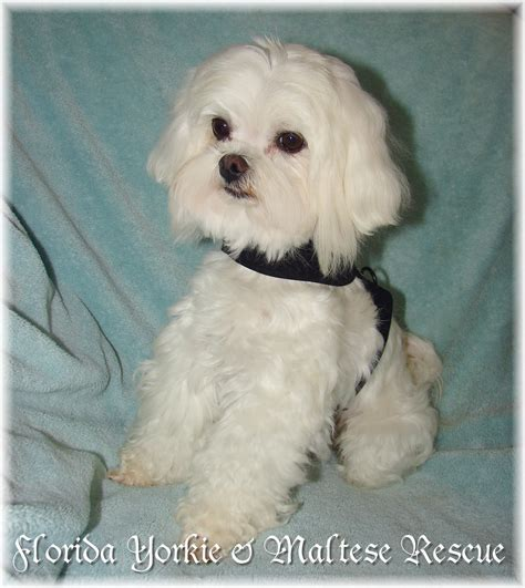 maltese yorkie rescue maltese rescue home page