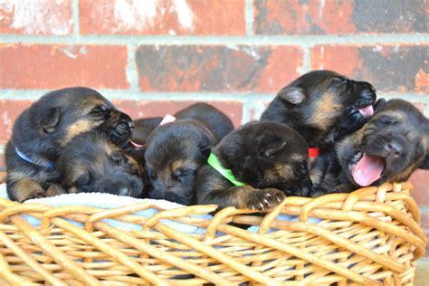 where can i buy a german shepherd puppy where can you find german shepherd puppies dogs our friends photo