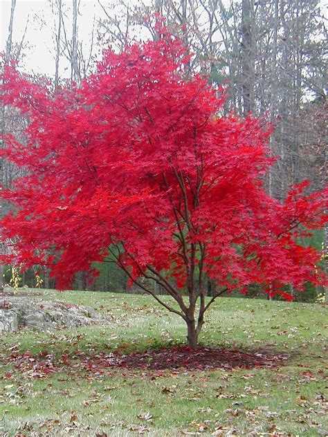 maple tree name in autumn one more time with feeling maple tree japanese maple and oxblood