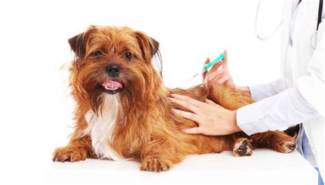 what vaccines do puppies need what do puppies need and exact puppy vaccination schedule