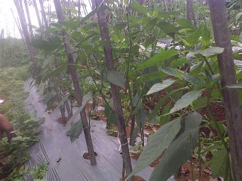 Pupuk Untuk Tanah Merah 10 langkah budidaya cabe pada tanah merah agrokompleks mmc