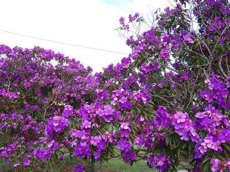 purple flowering tree these trees are still flowering