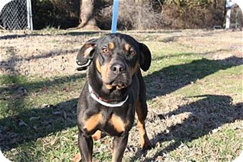 basset hound and rottweiler mix copper adopted 17975 conway ar rottweiler basset hound mix