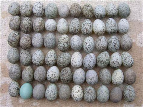 house sparrow eggs hosp house sparrow eggs