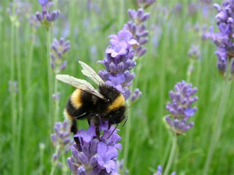 free photo bumblebee bee insect lavender free image on pixabay 668865