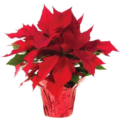 Home Depot Christmas Decor by 6 In Live Poinsettia In Store Only 6inp2013 The Home
