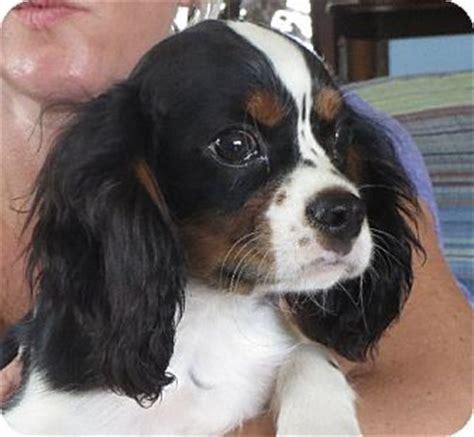 puppy ri greenville ri cavalier king charles spaniel meet fenton a puppy for adoption