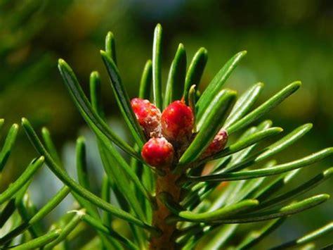 gymnospermae klasifikasi ciri  contoh tumbuhannya