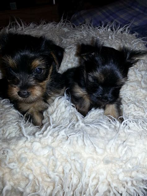 miniature yorkie puppies for sale miniature terrier puppies for sale tewkesbury gloucestershire pets4homes