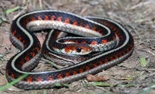 Garter Snake Garter Snake Tamnophis