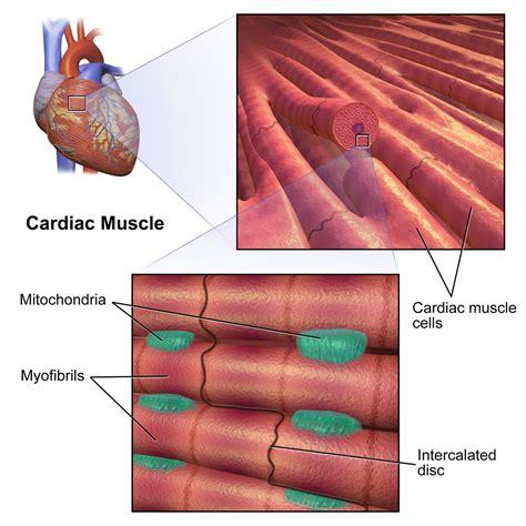 cardiac cell diagram cells cells myocytes